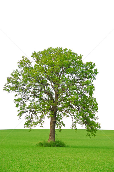 Tree Stock photo © elenaphoto