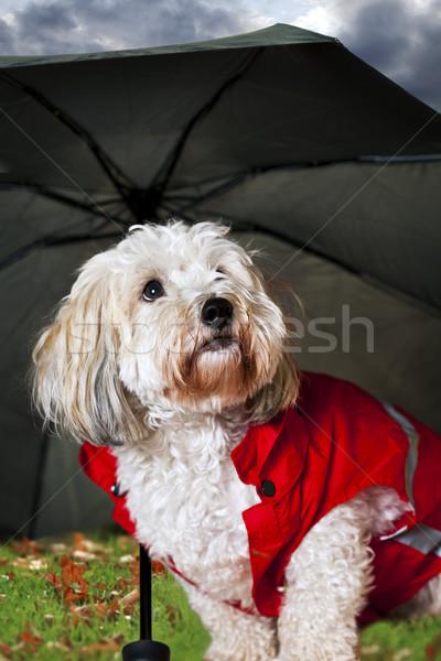Cute chien parapluie imperméable regarder anxieux Photo stock © elenaphoto