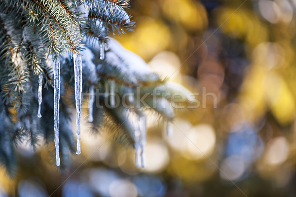 Icicles on fir tree in winter Stock photo © elenaphoto