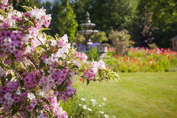 June garden with blooming weigela Stock photo © elenaphoto