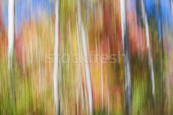 Birches in sunny fall forest Stock photo © elenaphoto