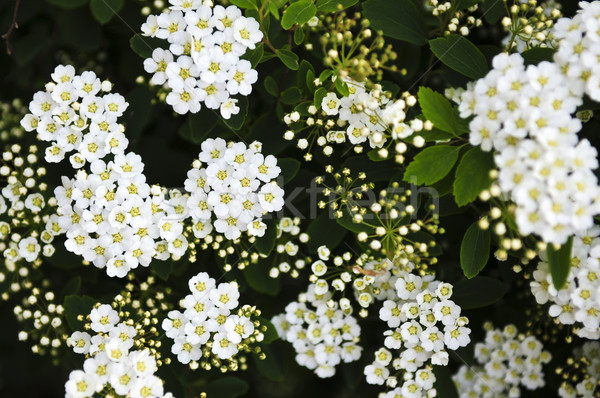 Bridal wreath shrub flowers Stock photo © elenaphoto