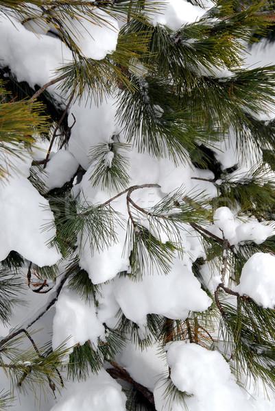 Pine pijnboom gedekt sneeuw boom Stockfoto © elenaphoto