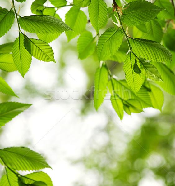 緑 春 葉 ニレ コピースペース 自然 ストックフォト © elenaphoto