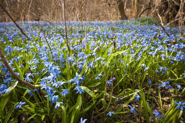 Primavera azul flores tapete cedo Foto stock © elenaphoto