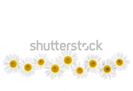 Daisy flower border Stock photo © elenaphoto