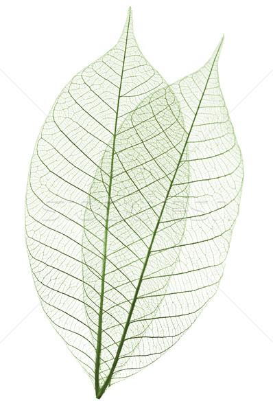 скелет листьев сушат резиновые дерево Сток-фото © elenaphoto