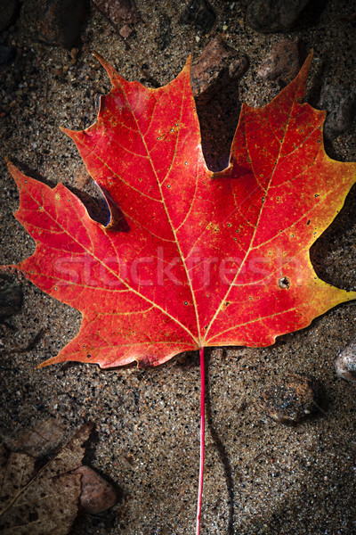 красный Maple Leaf воды один осень Сток-фото © elenaphoto