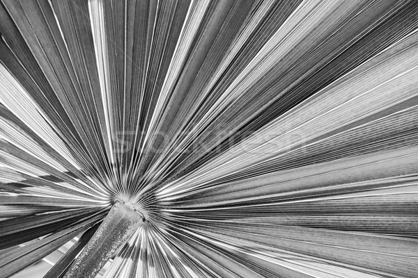 Palm leaf in black and white Stock photo © elenaphoto