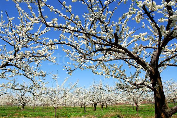 Verger de pommiers vieux floraison pomme arbres printemps Photo stock © elenaphoto