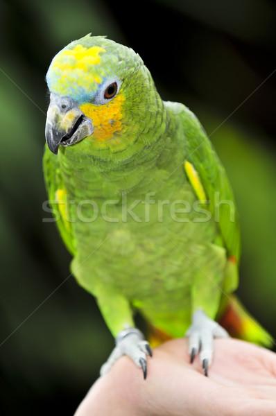 Yellow-shouldered Amazon parrot Stock photo © elenaphoto