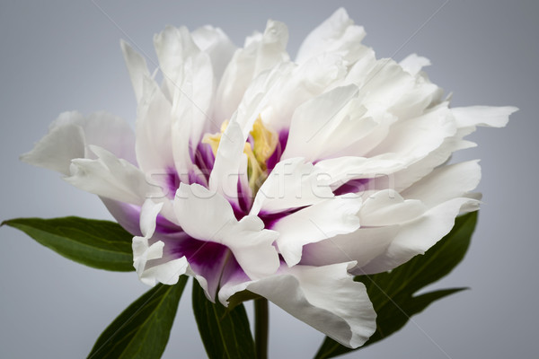 One peony flower Stock photo © elenaphoto