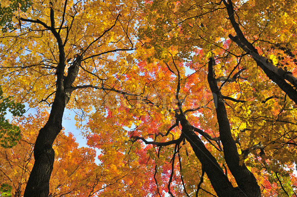 Autumn maple trees Stock photo © elenaphoto