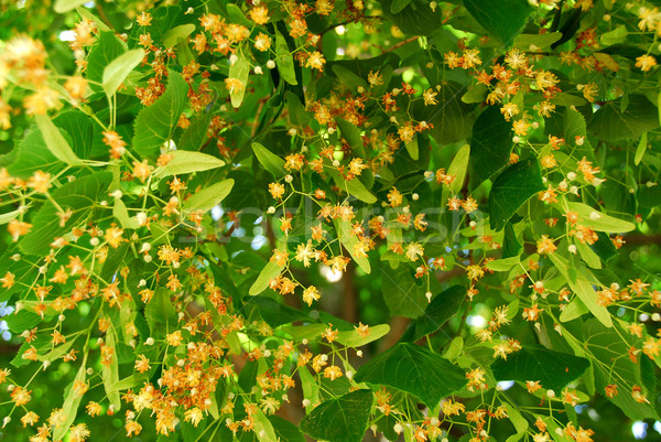 Blooming linden Stock photo © elenaphoto