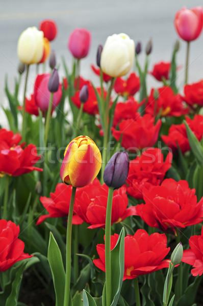 Tulips in spring garden Stock photo © elenaphoto