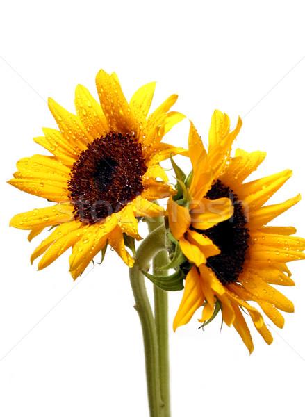 Photo stock: Deux · tournesols · blanche · isolé · fleurs
