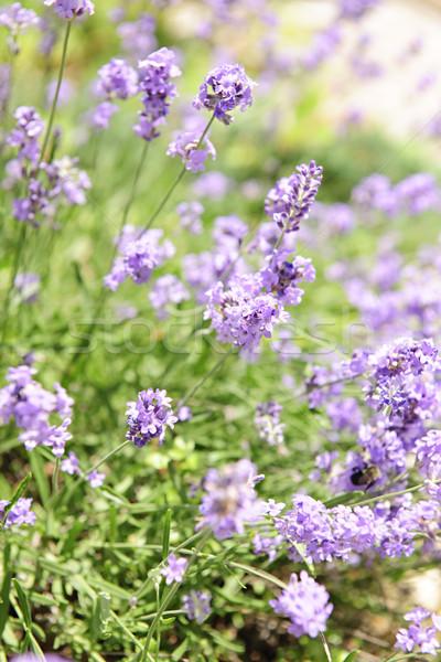 Photo stock: Lavande · floraison · jardin · botanique · pourpre · jardin · d'herbes · aromatiques