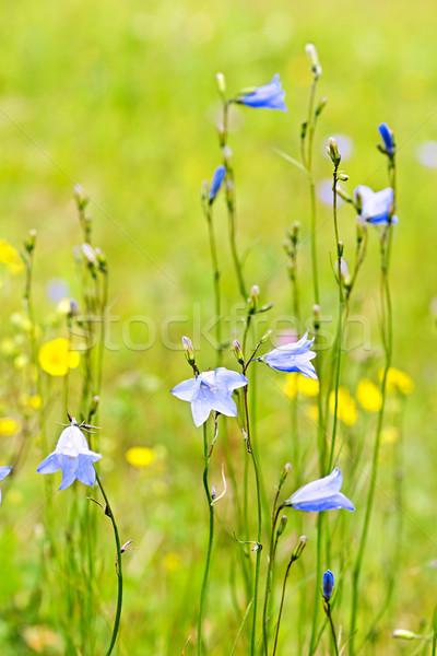 Blue harebells wildflowers Stock photo © elenaphoto