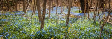 Stock foto: Teppich · blau · Blumen · Frühling · Wald · Panorama