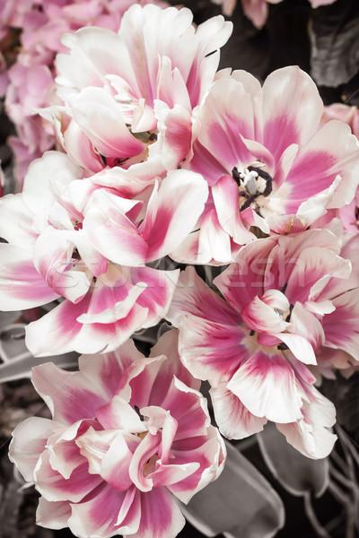 Pink and white tulips Stock photo © elenaphoto