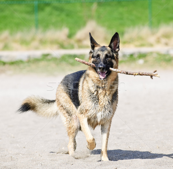 German Shepherd dog on beach Stock photo © elenaphoto