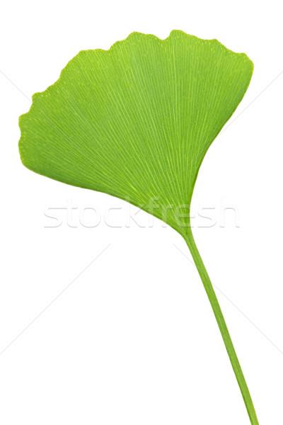 Ginkgo Biloba leaf Stock photo © elenaphoto