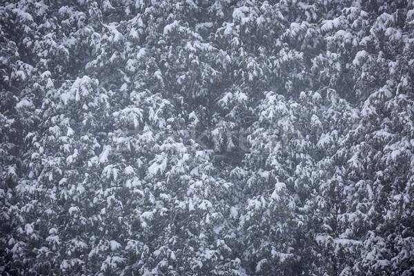 Kar kapalı ağaçlar ağaç arka plan güzellik Stok fotoğraf © elenaphoto