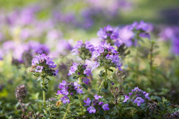 Flowering thyme Stock photo © elenaphoto