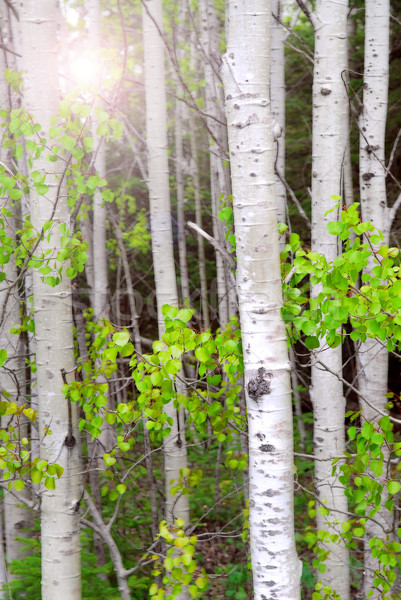 Aspen grove Stock photo © elenaphoto