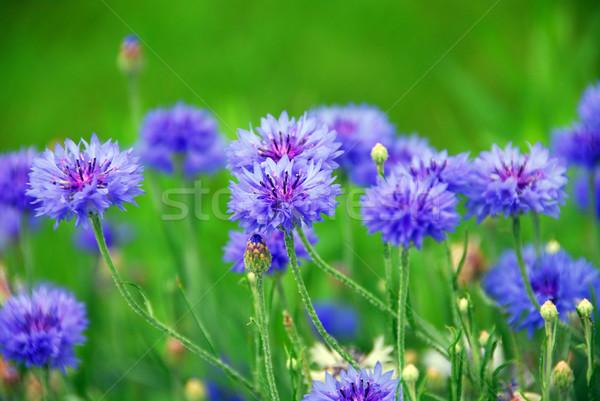синий цветы саду фон зеленый завода Сток-фото © elenaphoto