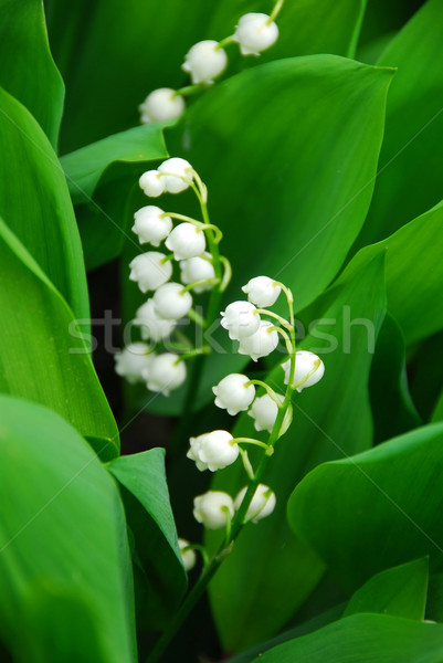 Lily-of-the-valley closeup Stock photo © elenaphoto
