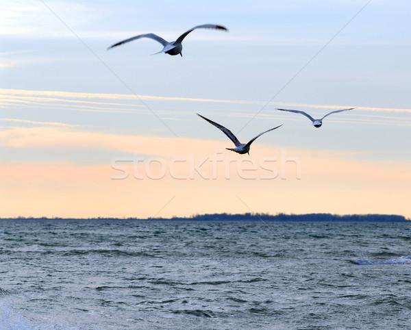 Crépuscule mouettes battant océan calme coucher du soleil Photo stock © elenaphoto