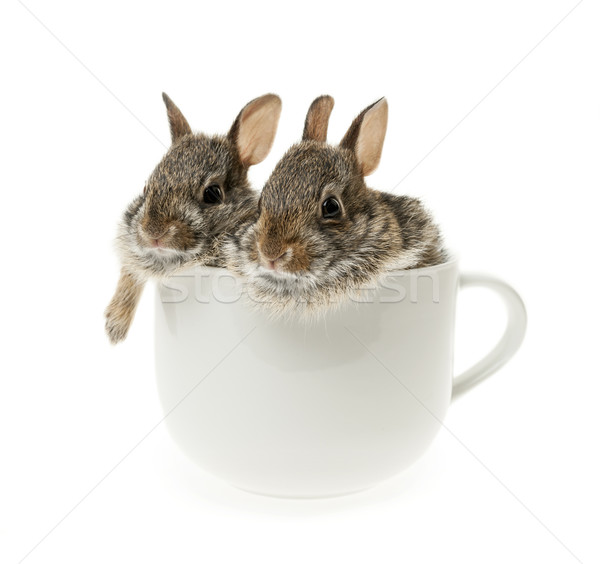 Two baby cottontail bunny rabbits in cup Stock photo © elenaphoto