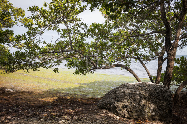Mangrove forest Stock photo © elenaphoto