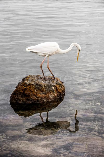 Groot witte reiger permanente rock naar Stockfoto © elenaphoto