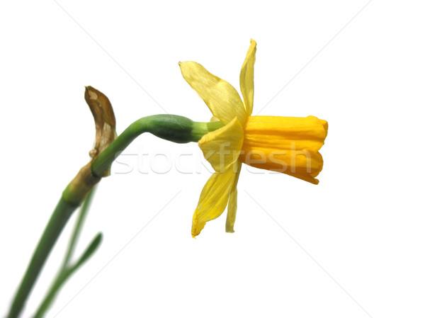 Narzisse weiß Blume Blumen Frühling natürlichen Stock foto © elenaphoto