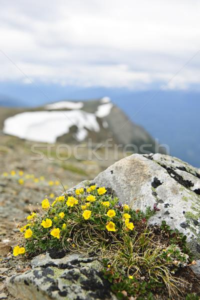 Alpine çayır park çiçekler dağ Stok fotoğraf © elenaphoto