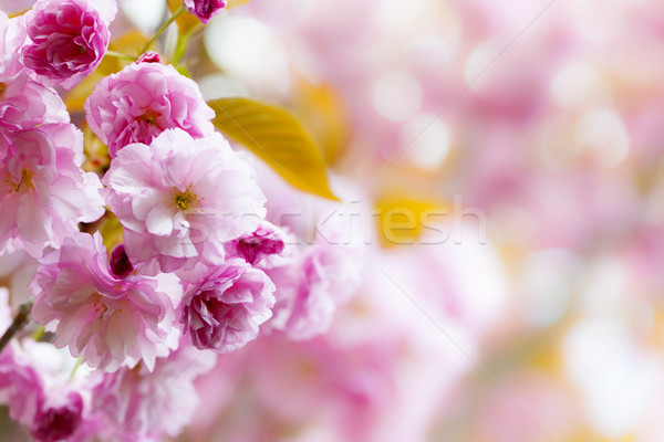 Pink cherry blossoms background Stock photo © elenaphoto