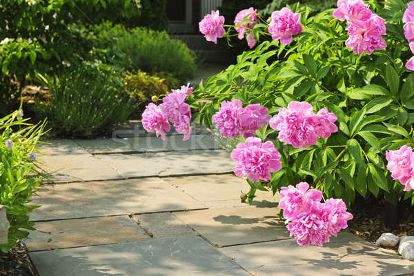 Garden with pink peonies Stock photo © elenaphoto