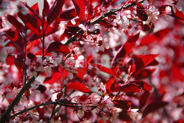 Bloomig cherry tree Stock photo © elenaphoto