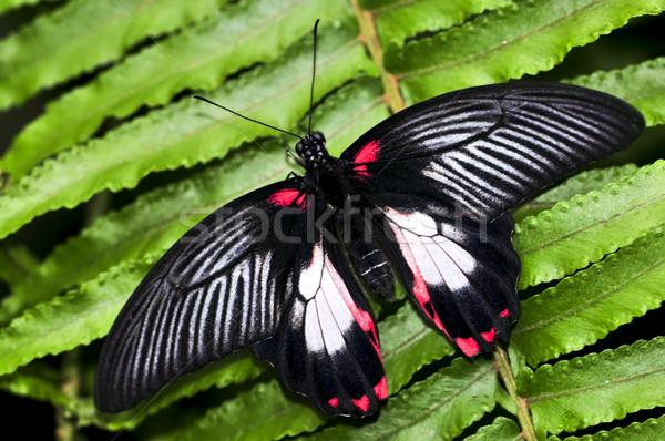 Common swallowtail butterfly Stock photo © elenaphoto