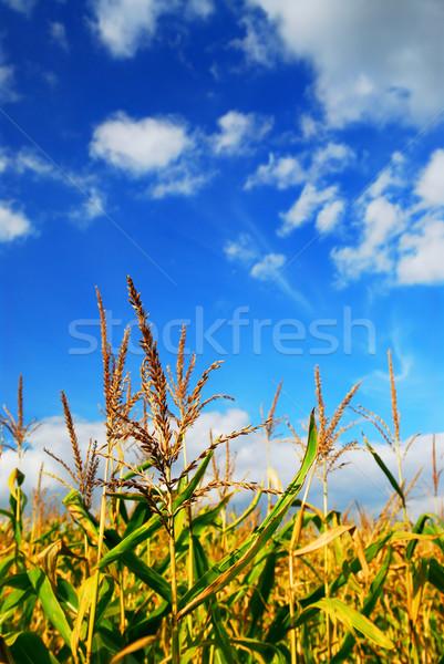 Stock fotó: Kukorica · mező · farm · növekvő · kék · ég · égbolt