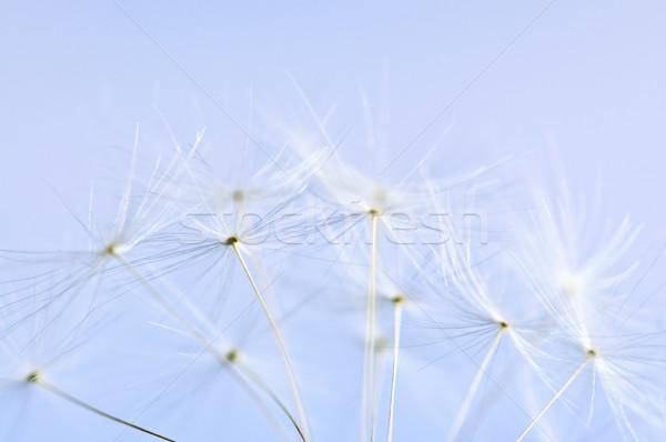Dandelion macro sementes blue sky fundo azul Foto stock © elenaphoto