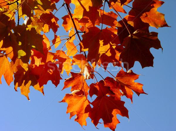 Caída arce hojas cielo rojo transparente Foto stock © elenaphoto