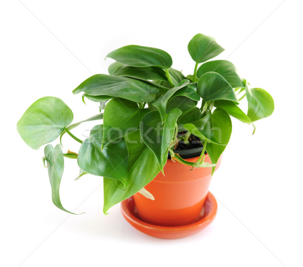 Houseplant on white background Stock photo © elenaphoto