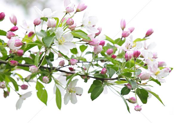 Blooming apple tree branch Stock photo © elenaphoto