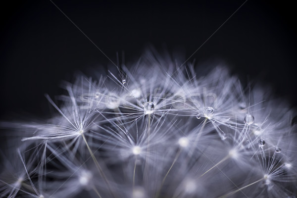 Dandelion seeds macro Stock photo © elenaphoto