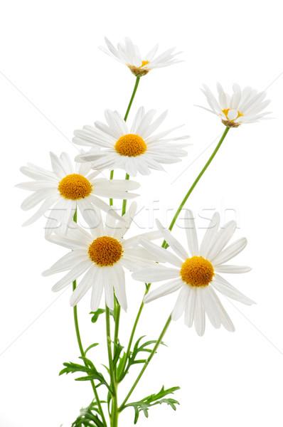Százszorszépek fehér százszorszép növény virágok izolált Stock fotó © elenaphoto