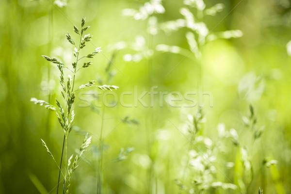 June green grass flowering Stock photo © elenaphoto