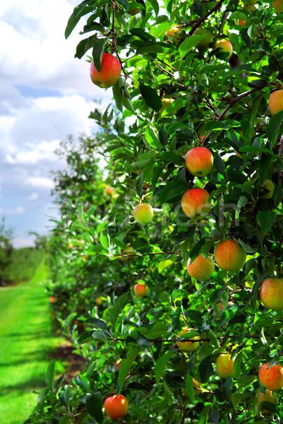 Stockfoto: Appelboomgaard · rijp · appels · appel · bomen